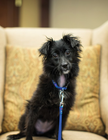 Whitney, a small, black dog wearing a blue collar and leash, sitting on a tan chair, is Whitney Center's canine mascot